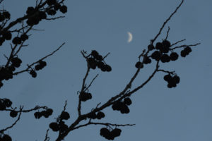 Pods on a bare tree on the west side of Main, against a deep blue sky with the crescent moon.