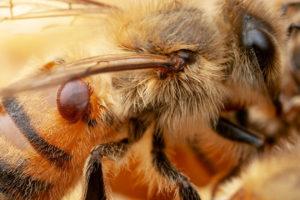 Varroa mite on a honey bee