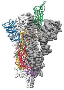 Coronavirus spike protein structure