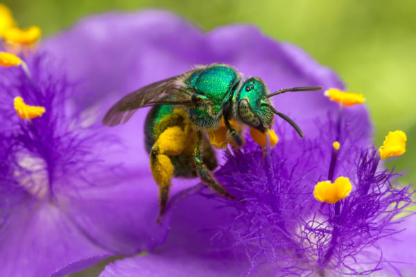 A green sweat bee on a spiderwort flower. Photo by: Alex Wild, used with permission.