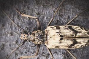 The longhorn beetle can survive in volcanic areas inspires researchers to create new cooling materials