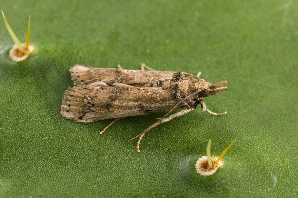 Cactoblastis_cactorum_moth_femal_20200330-161027_1