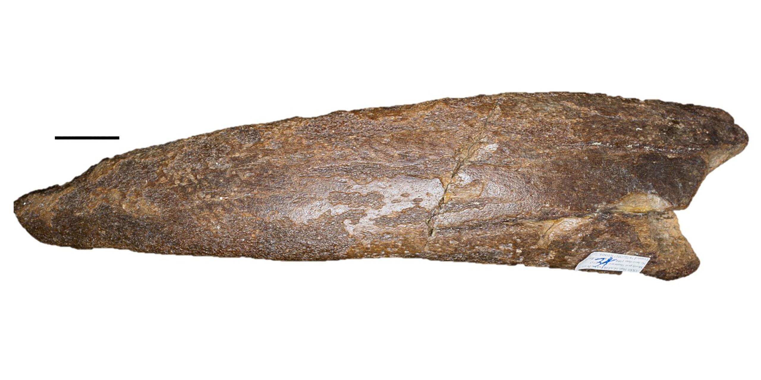 A manatee rib fragment fossil