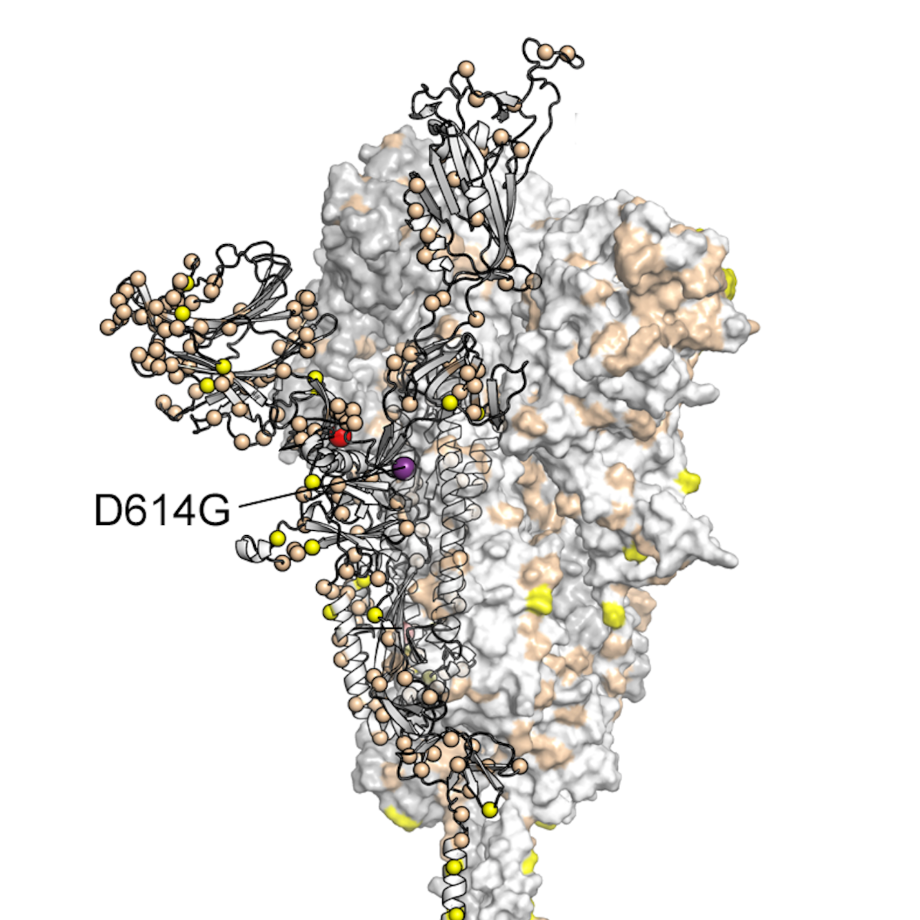 An arrow points to the mutation in the SARS-CoV-2 spike protein