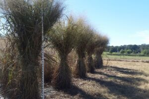 Four large stacks of switchgrass bound in the center.