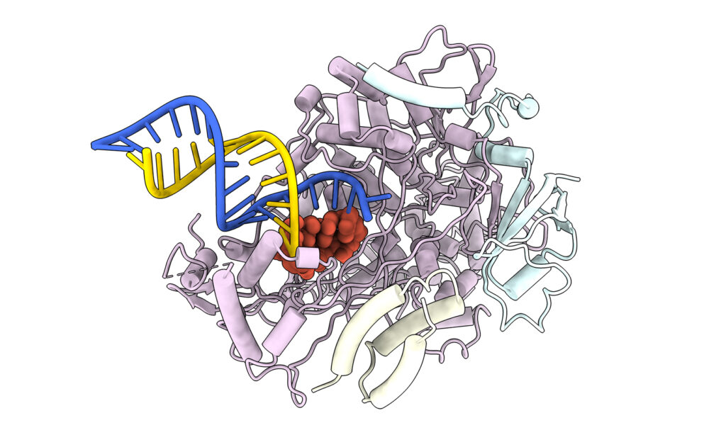 A 3D model shows how remdesivir blocks RNA copying