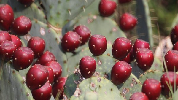 A close view of a prickly pear cactus, with its bright-red fruit budding along the tops of the paddles.