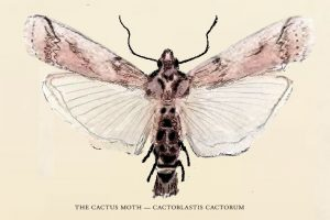 An illustration of a cactus moth. It has a brown body and brown and opaque wings.