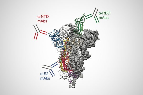 Antibodies Target Many Parts of SARS-CoV-2 Spike Protein