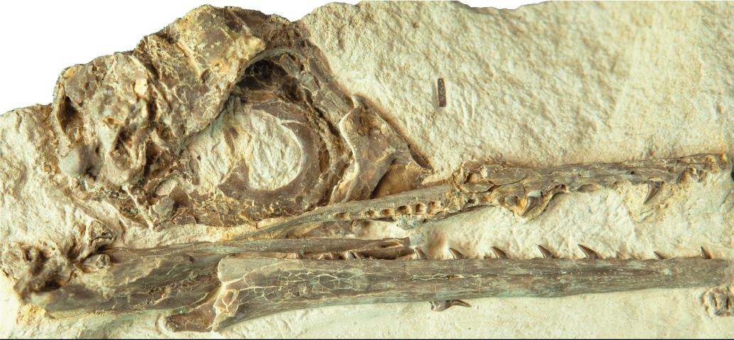 The fossil skull shows the eye socket, beak, and teeth