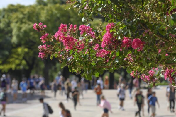 Students crossing Main Mall and crape myrtles 2019