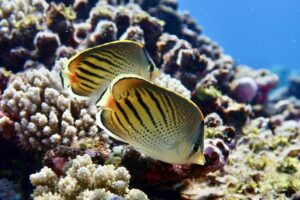 Two sunset butterflyfish (Chaetodon pelewensis) swim side by side in front of a coal reef.