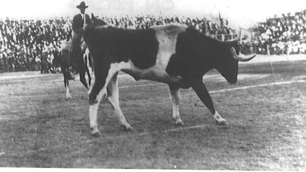 Longhorn steer being pulled onto a football field